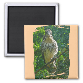 Immature Red Tailed Hawk Coordinating Items Square Magnet