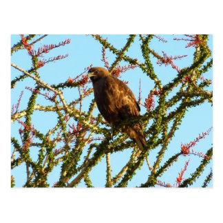 Immature Red-Tailed Hawk in Ocotillo (Joshua Tree) Postcard