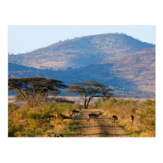 Impala (Aepyceros Melampus), Hluhluwe-Umfolozi Postcard