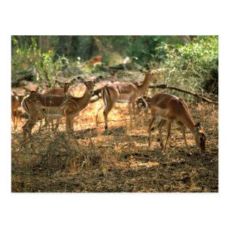 Impala Postcard