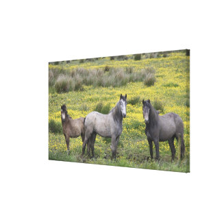 In Western Ireland, three horses with long Canvas Prints