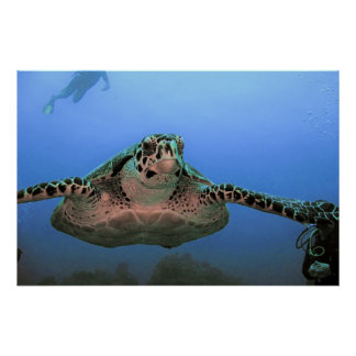 Incoming Hawksbill Poster