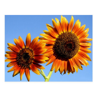 Incredible Autumn Beauty Sunflower Blossoms Postcard