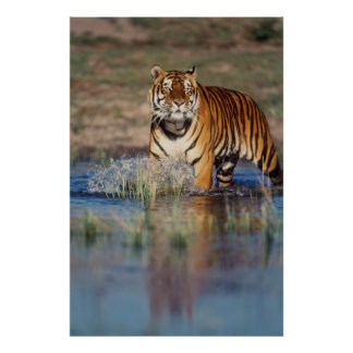 India, Bengal Tiger (Panthera Tigris) 3 Poster