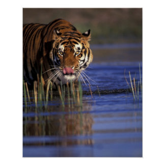India. Bengal Tiger (Pathera tigris), captive Poster
