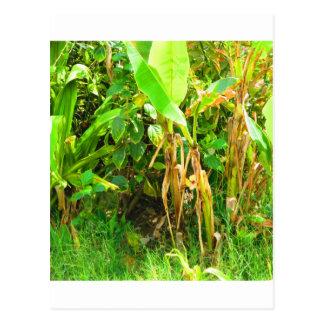 India Travels Infant Banana trees saplings Green Postcard