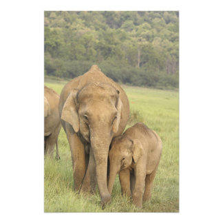 Indian / Asian Elephant and young one,Corbett Photographic Print
