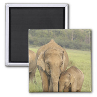 Indian / Asian Elephant and young one,Corbett Square Magnet
