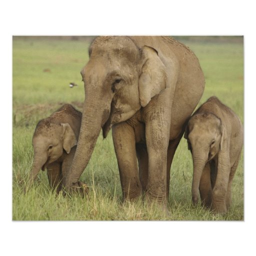 Indian / Asian Elephant and young ones,Corbett Print
