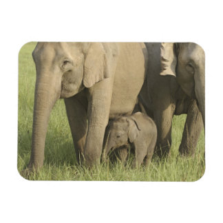 Indian / Asian Elephants and young one,Corbett Rectangular Photo Magnet