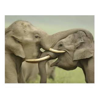 Indian / Asian Elephants play fighting,Corbett 2 Postcard