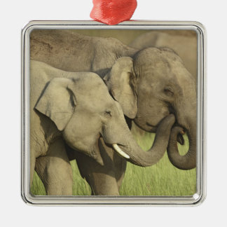 Indian / Asian Elephants sharing a Metal Ornament