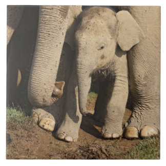Indian Elephant calf,Corbett National Park, Tile