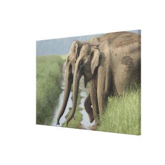 Indian Elephants crossing the track, Corbett Canvas Print