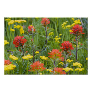 Indian paintbrush and biscuitroot wildflowers poster