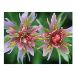 Indian Paintbrush, Banff NP, Alberta, Canada Postcard