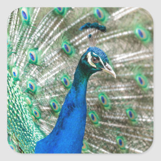 Indian Peacock Square Sticker