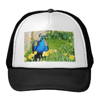 Indian Peafowl among narcissus flowers Cap