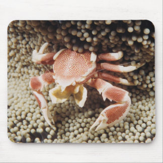 Indo-Pacific Ocean, Close-Up of Anemone crab Mouse Pad