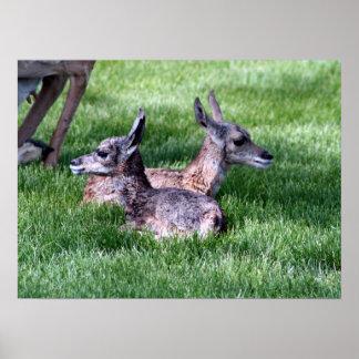 Infant Antelope Poster