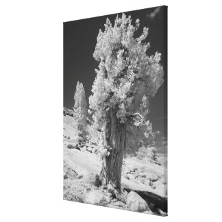 Infrared photo in East side of Yosemite National Gallery Wrapped Canvas