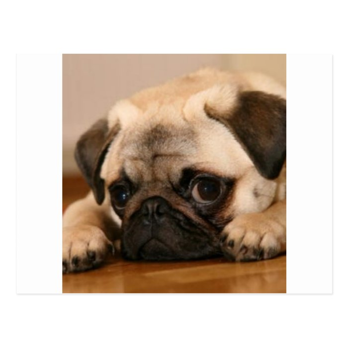 """"""" Innocent """" Pug Postcard"""