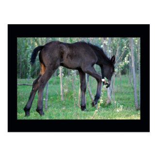 Inquisitive little foal postcard