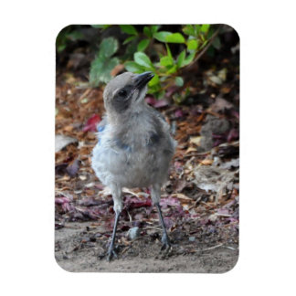 Inquisitive Young Scrub Jay Rectangular Photo Magnet