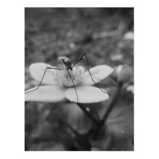 insect-black-and-white postcard