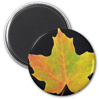 inspiring Sugar maple yellow leaf Fridge Magnet