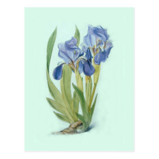 Iris aphylla postcard
