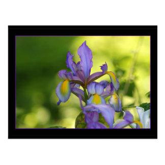Iris flower post cards