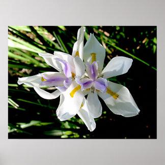 Iris - Wild Iris Poster