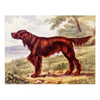 Irish Setter 1900 Illustration of Sporting Dog Postcard