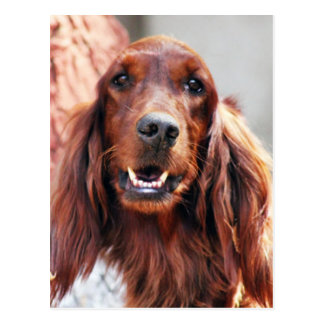 Irish Setter Dog Postcard