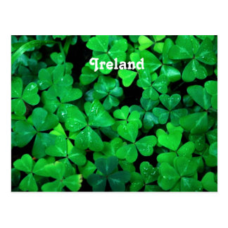 Irish Shamrocks Postcard