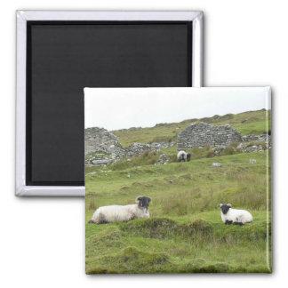 Irish sheep square magnet