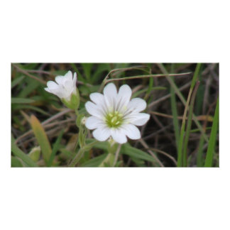 Ishawooa Wyoming Flora Wildflowers Flowers Botany Photo Card