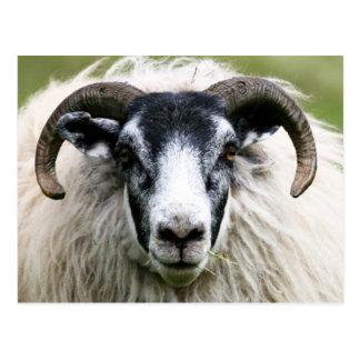 Island Sheep Post Cards