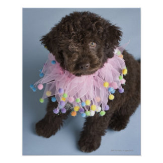 Italian Water Dog (Lagotto) Puppy Poster