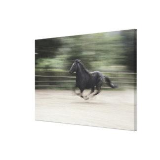 Italy, Latium, Maremma horse galloping (blurred Canvas Print