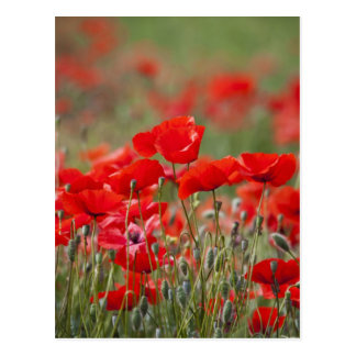 Italy, Tuscany, Mass of Summer Poppies in Postcard