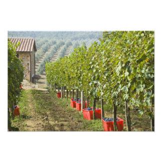 Italy, Tuscany, Montalcino. Bins of harvested Photo Art