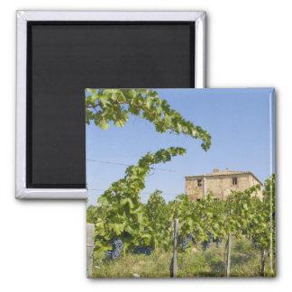 Italy, Tuscany, Montepulciano. Wine grapes ready Magnets