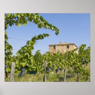 Italy, Tuscany, Montepulciano. Wine grapes ready Poster
