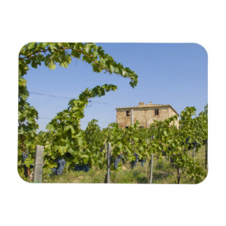 Italy, Tuscany, Montepulciano. Wine grapes ready Rectangular Photo Magnet