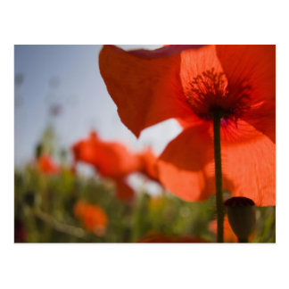 Italy, Tuscany, Summer Poppies in Tuscany Widw 3 Postcard