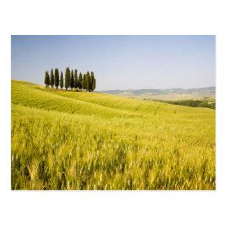 Italy, Tuscnay, Grouping of Tuscan Cypress 2 Postcard