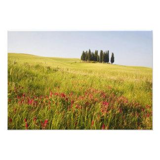 Italy, Tuscnay, Grouping of Tuscan Cypress Photographic Print