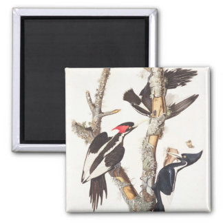 Ivory-billed Woodpecker, 1829, (print) Square Magnet